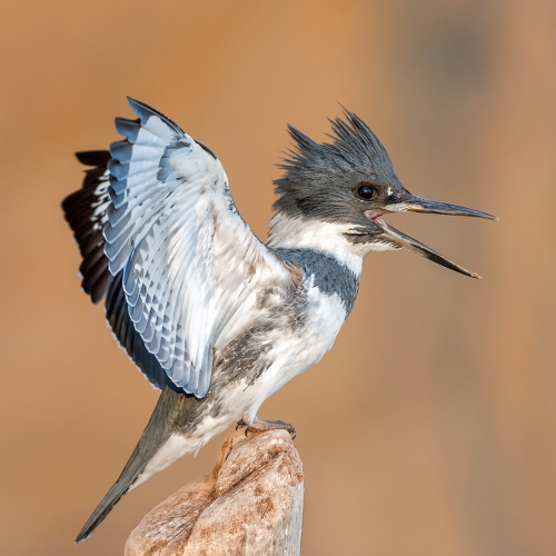 SILVER Robert Parker - Belted Kingfisher Display