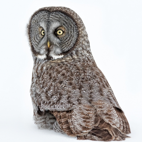 SILVER Robert Parker - Great Grey Owl.