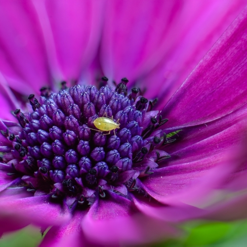 SILVER VCC Neil Boyle Osteospermum With Aphid