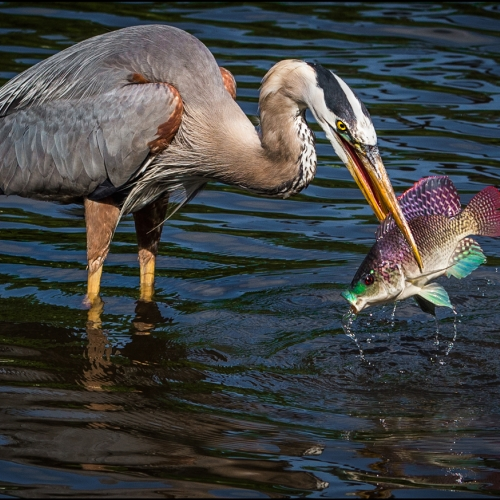 Silver Medal - Fred Greene - GBH With Fish 5618