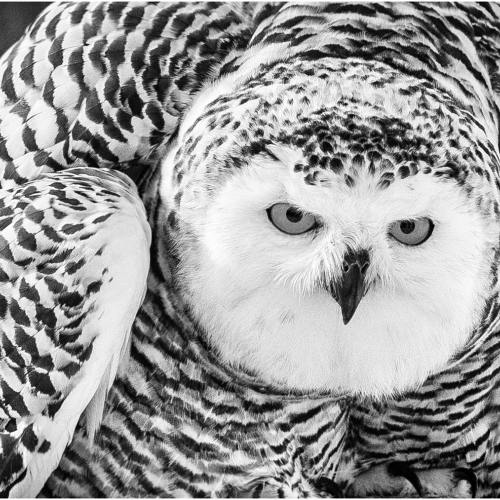 Silver Medal Leah Parker Snowy Owl