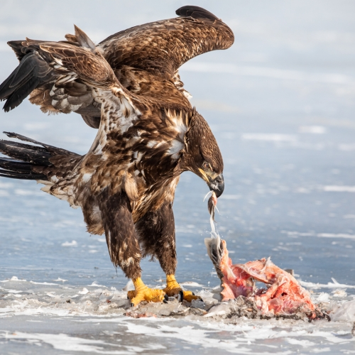 Silver Medal Michael Winsor Juvenile Bald Eagle Lunch