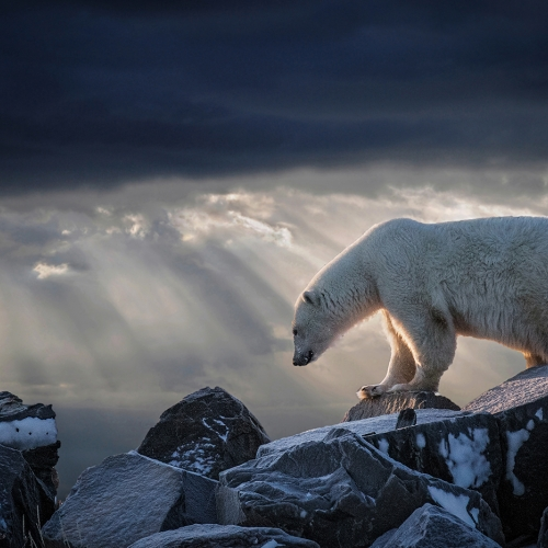 Silver Medal - Steve Donnelly - Polar Bear Churchill Manitoba