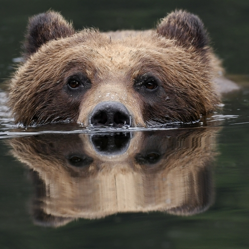 Silver Medal William Bickle - Grizzly In Waters  Of Khutzeymateen