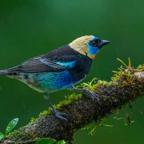 SILVER Francis King - Golden Hooded Tanager In Rain
