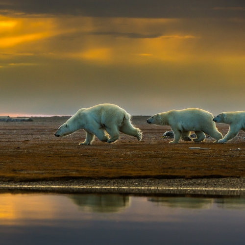 SILVER Francis King - Polar Bear Family Running To Safety 1