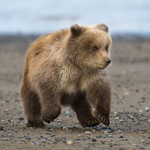 Silver LGCC David Wingate Running First Summer Grizzly Cub