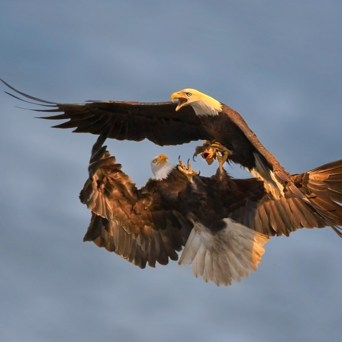 w21 1_TCC_JEFF LU_Bald Eagles Fighting for fish