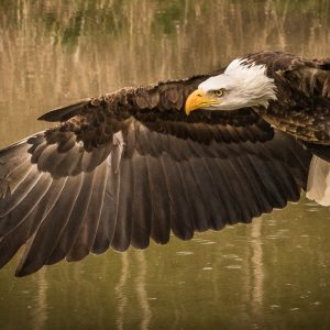 Eagles - Determination by Kala Lakhani