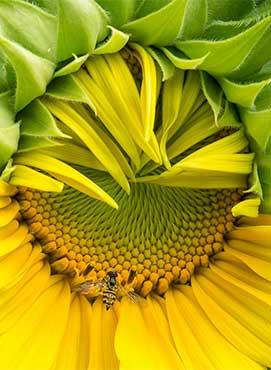 1st Place Merit Award-Rachel Schneiderman-Bee_on_Sunflower